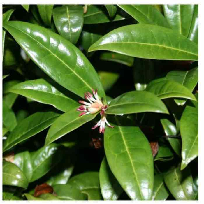 sarcococca hookeriana evergreen shrub