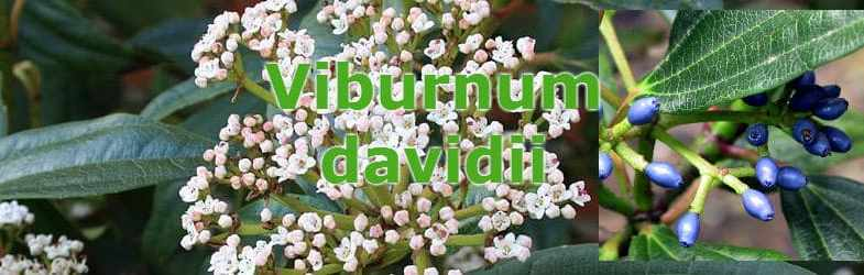 Viburnum davidii – Growing tips, cultivation and planting information