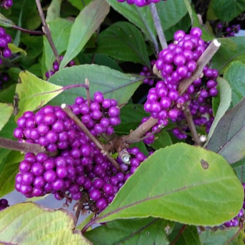 quick growing Callicarpa bodinieri shrub