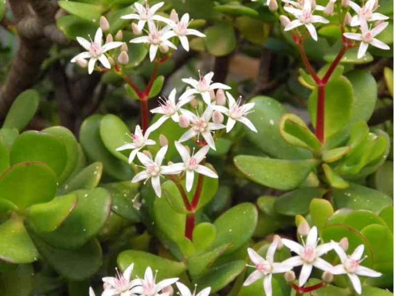 Crassula ovata also known as the money plant and jade plant. Water regularly during the growing season.