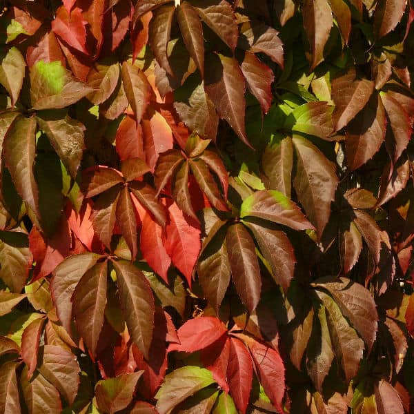 Parthenocissus quinquefolia ideal climber for shade areas