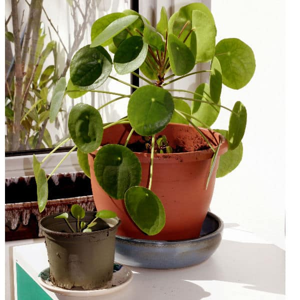 Pilea peperomioides house plant also known as Chinese money plant