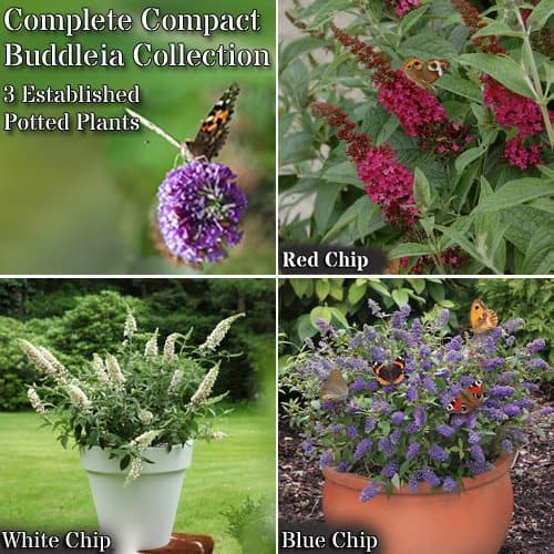 Dwarf Buddleia chip only grow to around 3ft tall and are excellent for patio pots