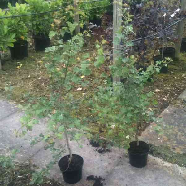 hawthorn is a native deciduous fast growing hedging plant.