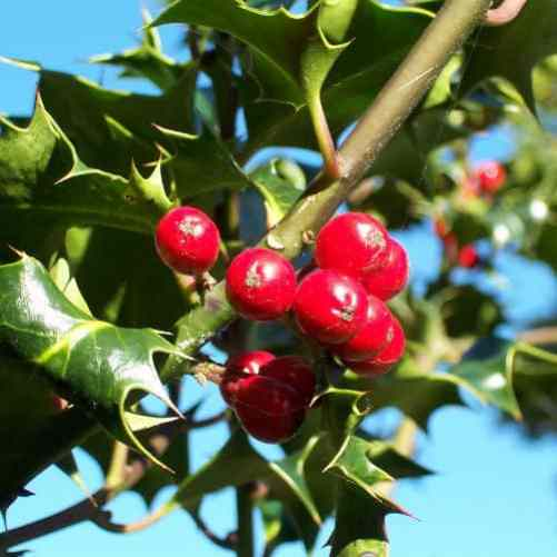 ilex holly evergreen shrub