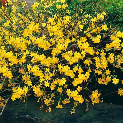 Winter Jasmine is a vining shrub that produces yellow flowers long before you see any leaves unfurl. The bright green stems with the lemon yellow flowers are perfect for bringing any type of colour to an otherwise mundane winter landscape.