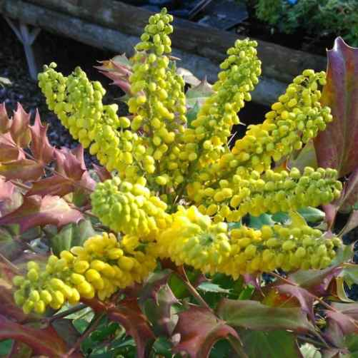 mahonia japonica ideal for screening and autumn winter colour