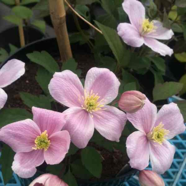 clematis montana mayleen is a fast growing climber which produces masses of flowers in spring