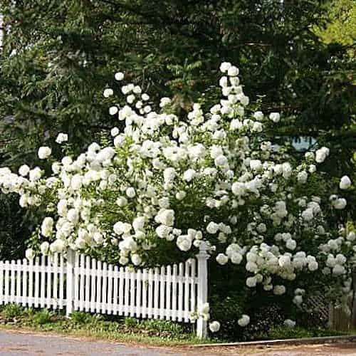 philadelphus ideal screening shrub fast growing