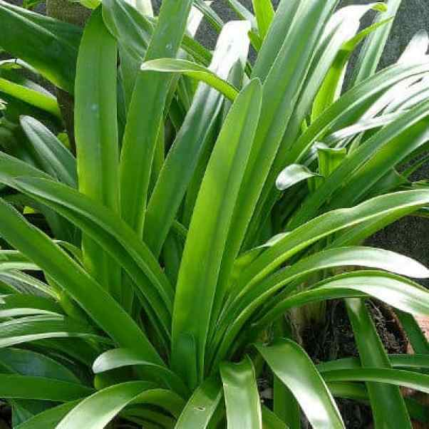 Agapanthus not flowering and how to resolve the issue