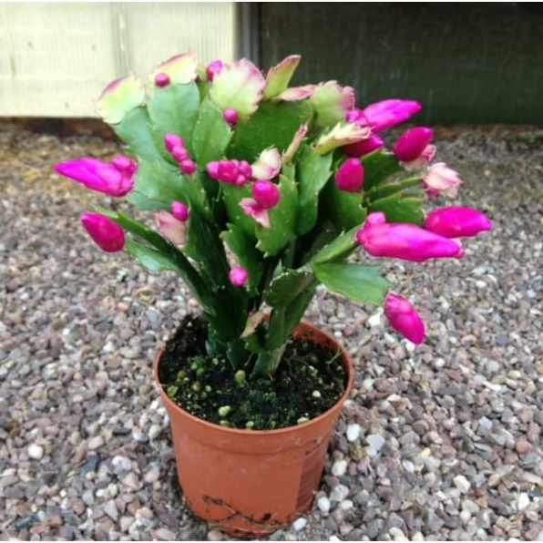 christmas cactus also known as Schlumbergera flower from November to January