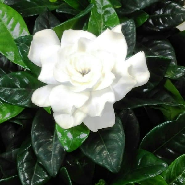 gardenia plants with produce creamy white scented flowers.
