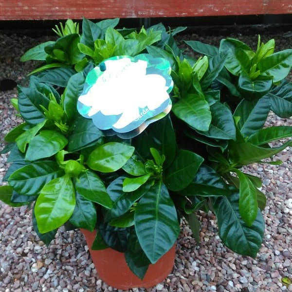 gardenia plants grown as a house plant