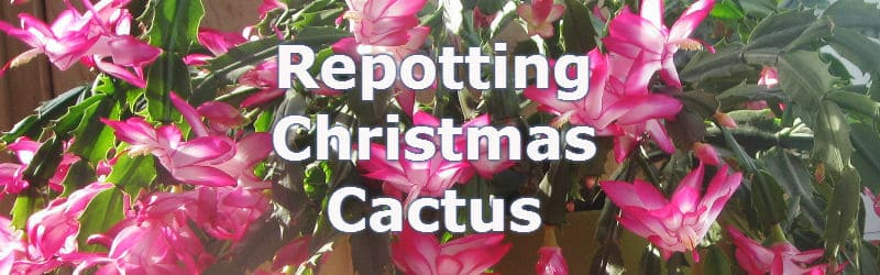 Repotting Christmas Cactus for improved growth and flowering ...