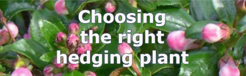 types of hedges, choosing the best hedging plant  pyracantha.co.uk, Natural flower