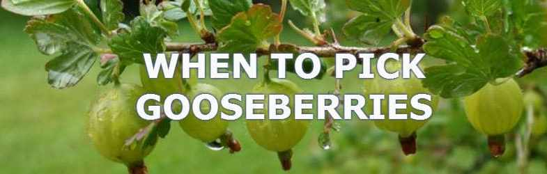 When to pick gooseberries