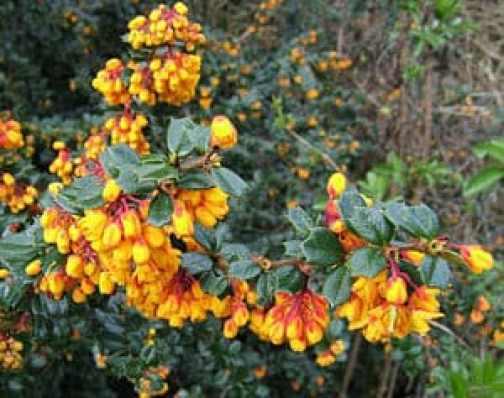 Berberis Darwinii Nana Ground Cover shrub in flower
