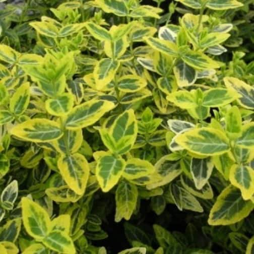 Euonymus Emerald n Gold ground cover shrub