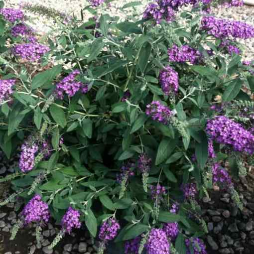 Buddleia Dreaming Purple