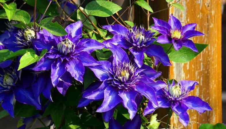 How to Prune Clematis Correctly by Group Type 1, 2 & 3