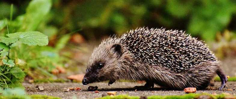 Best Hedgehog Houses For Hibernation & Shelter – 6 Top Picks