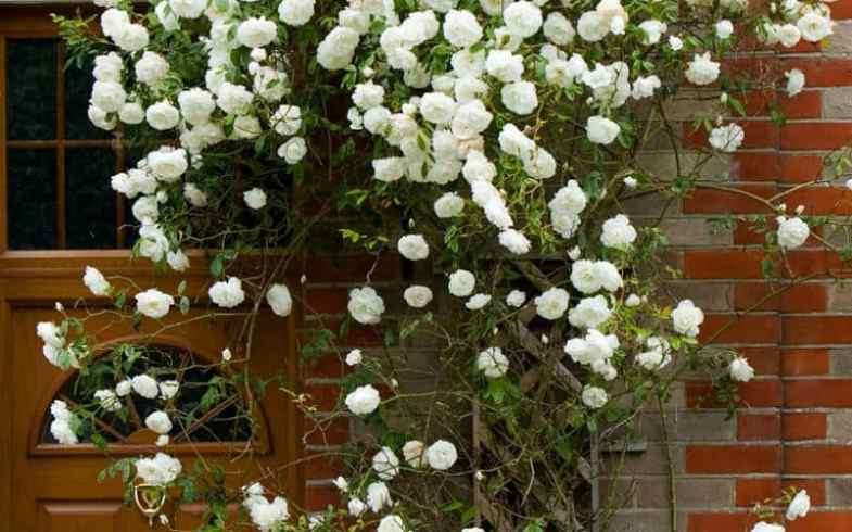 Pruning rambling roses – how to prune in 5 easy steps