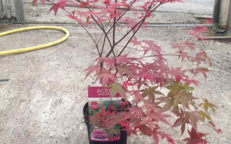 Pruning Acers In Pots
