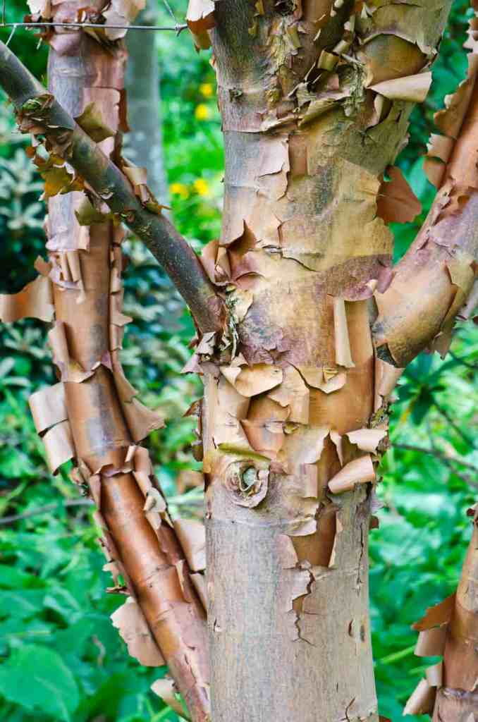 Maple trees, particularly the paperbark maple tree offers a visually captivating display on the tree trunk itself.