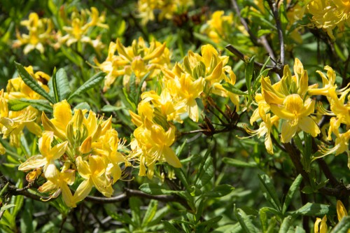 Azalea mollis luteum - spring flowering yellow flowering shrub for small gardens