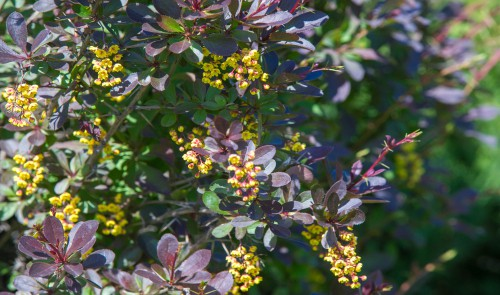 Berberis are evergreen and deciduous shrubs that can reach up to 5 meters tall if you let them depending on the variety but there are some ground cover types of both evergreen and deciduous. They boast a range of pink, rose, red, and even yellow and green-tinged displays which make for wonderful hedges or small bushes in any garden.