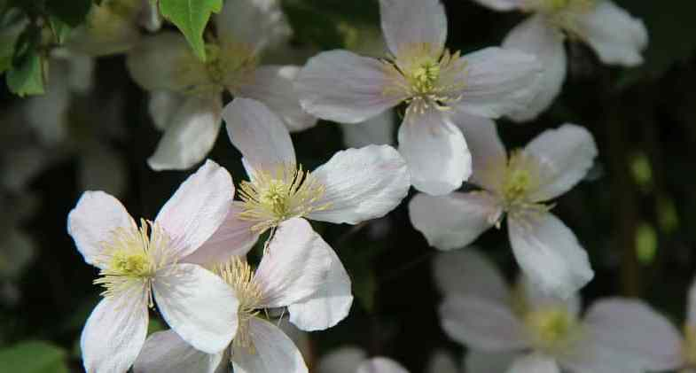 Top 10 best clematis for shade
