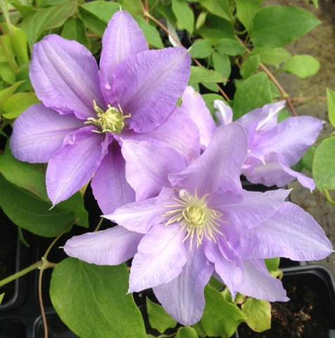 This clematis will give you beautiful flowers at the end of spring to the beginning of summer. It reaches a height of around 90cm up to 120cm and a spread between 30cm and 60cm making it perfect for container growing in small or larger pots.