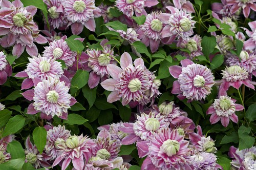 The Josephine variety is regarded as one of the top double bloom pink Clematis on the market because the blooms are quite large spanning about 12cm. They are adorned with pink centre stripes and outer sepals, surrounding a smaller inner set of similarly coloured rosettes.