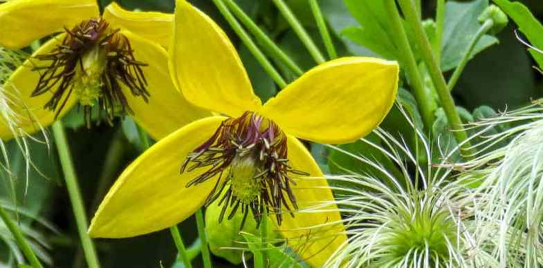 Clematis Pruning Group 3 – Be brave and prune hard