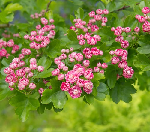 The double pink Hawthorn, one of many names attributed to this small garden tree is a deciduous tree and shrub complete with spiny branches and toothed leaves, producing double pink coloured flowers and subsequent red or black fruit.