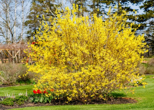Forsythias are part of the olive family and regardless of the species you choose, you can find beautiful, and overwhelming bright yellow flowers which make a hedge stand out in any garden but also work well as a specimen shrub.