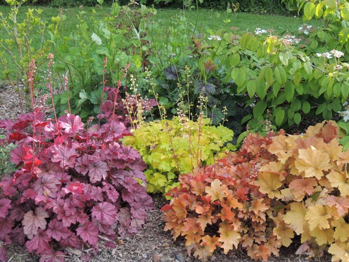 In addition to the traditional varieties, you can also find new varieties whose leaves take on shades of lime green, gold, purple, or rose.