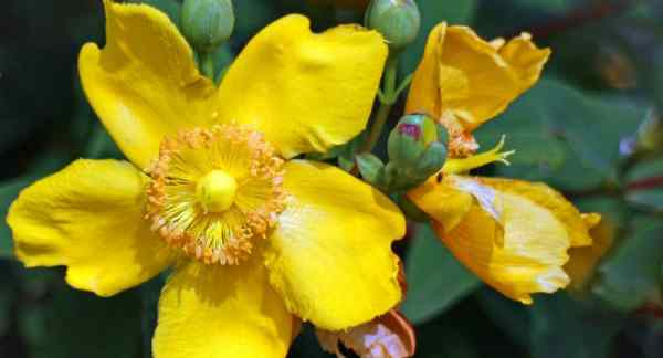 Growing Hypericum Hidcote