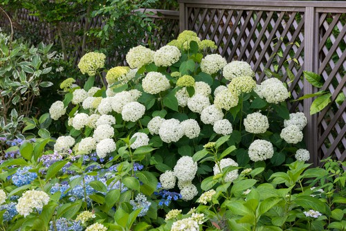 Growing hydrangeas Hydrangea arborescens 'Annabelle'. A favouite of many gardeners, this hydrangea is easy to care for and the flowers can be as large as 25cm across