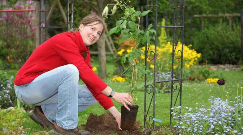 How to plant a clematis