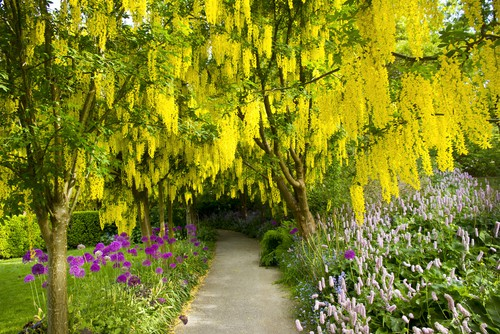 Goldenrain is a tree given its name because of the stunning yellow blooms that are produced in the springtime. Not only are they beautiful in colour but they flowers along a very long, length of stem which hangs straight down giving the appearance of a golden shaded rain falling through the tree, some might even hear them be called banana tree.