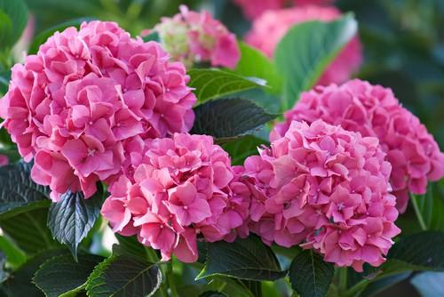 Generally, you prune Bigleaf or Florist Hydrangea (Hydrangea macrophylla) as the flowers fade