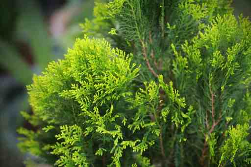 If you want to add some vibrance to your garden this dwarf conifer gets its name from the yellow tips it provides. This variety is a compactly branched shrub that has a globe shape. The globe shape is naturally occurring such that it rarely requires any pruning on your behalf which makes maintenance significantly easier.