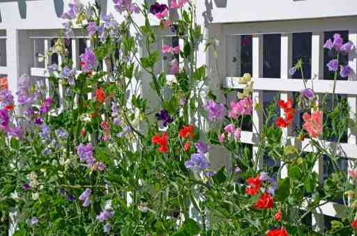 Annual and perennial sweet peas are perfect for growing in pots and containers.