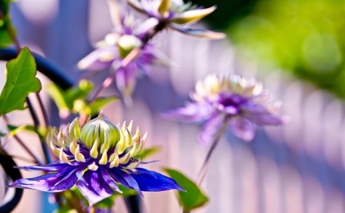 This clematis works very well on its own given the stunning purple flowers that are produced. These flowers have multiple layers to them with a deep, double purple shade and yellow-green tips. With this variety, it will grow moderately in a climbing habitat between the summer and autumn and is perfectly well suited to colder areas.