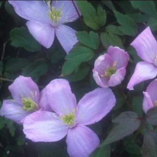 Clematis montana elizabeth - perfectv for shade requires no pruning