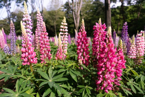Lupin plants will improve the fertility in your soil overtime because they fix nitrogen levels.
