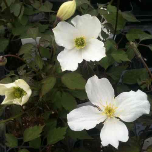 The Grandiflora is a deciduous climber that prefers shade and offers white flowers spanning 7cm, with bright yellow interiors. It will bloom at the end of spring and beginning of summer
