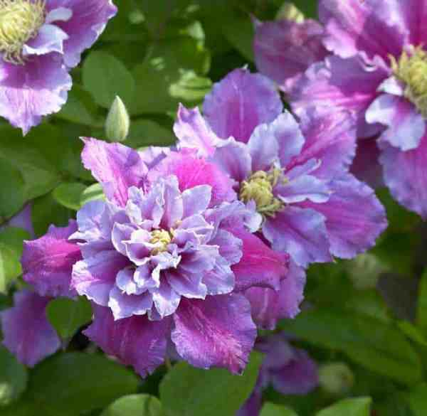 Clematis are perfect plants for growing in pots.