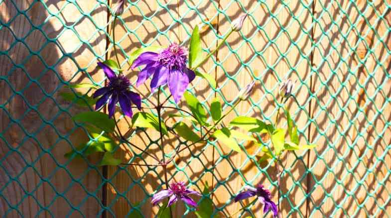 Planting Clematis Against A Fence Using Trellis, Wires or Plastic Netting